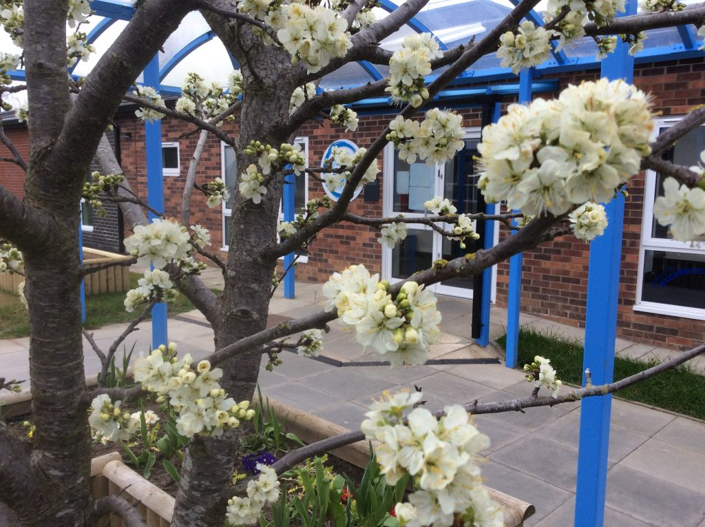 Look at the beautiful plum tree blossom that greeted me on my arrival at school this morning!